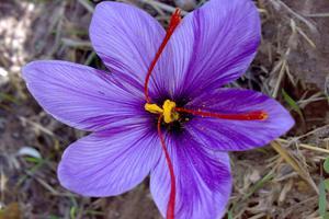 fleur-dextrait-de-safran